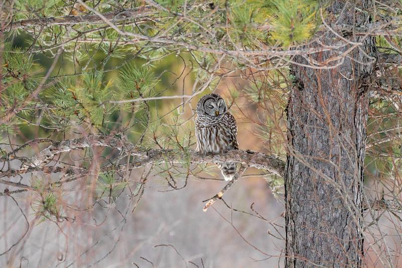 Barred Owl hunting Yellow-bellied Bog Peary Road Sax-Zim Bog MN IMG_0226.jpg