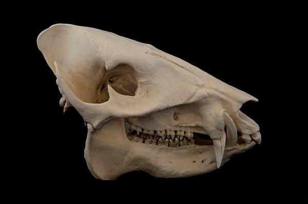 Mammal Skulls Tayassuidae