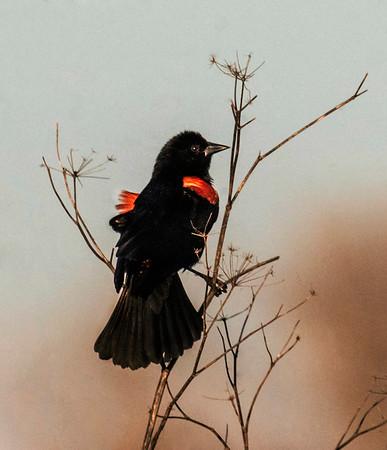 CALIFORNIA SPRING  BIRDS