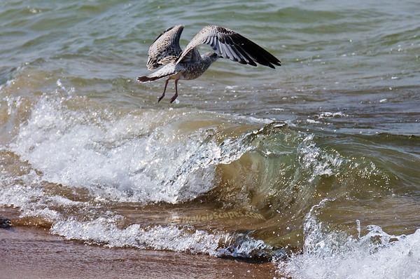 Seagulls, Sandpipers