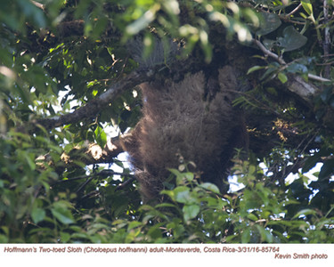 Hoffmann's Two-toed Sloth A85764.jpg