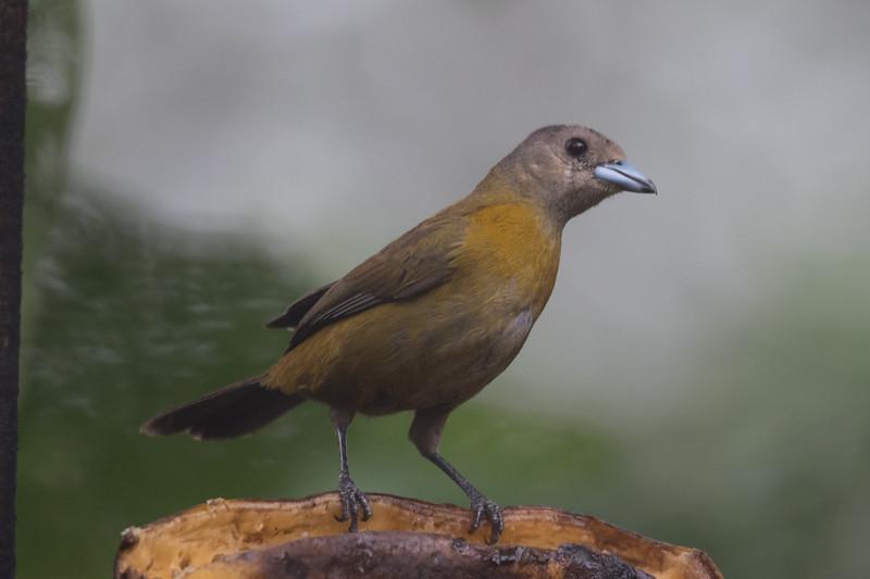 19-Sept Costa Rica Birds-2064.JPG