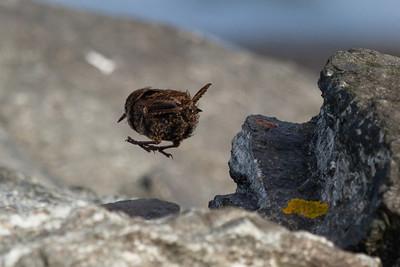 Birds, Shetland