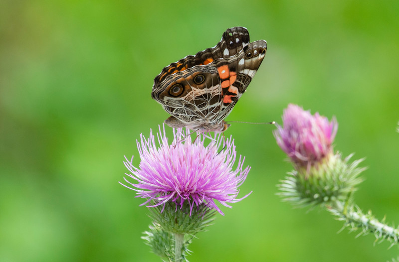 butterfly-thistle-osinga-farm3.jpg