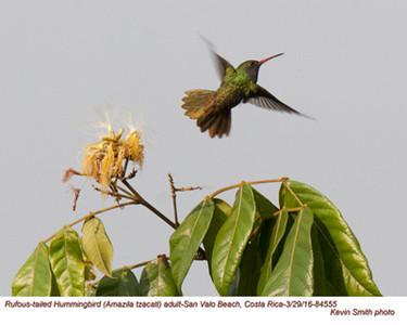 Rufous-tailed Hummingbird A84555.jpg