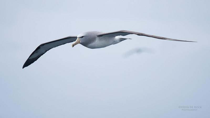 Salvin's Albatross, Eaglehawk Neck Pelagic, TAS, Sept 2016-9.jpg
