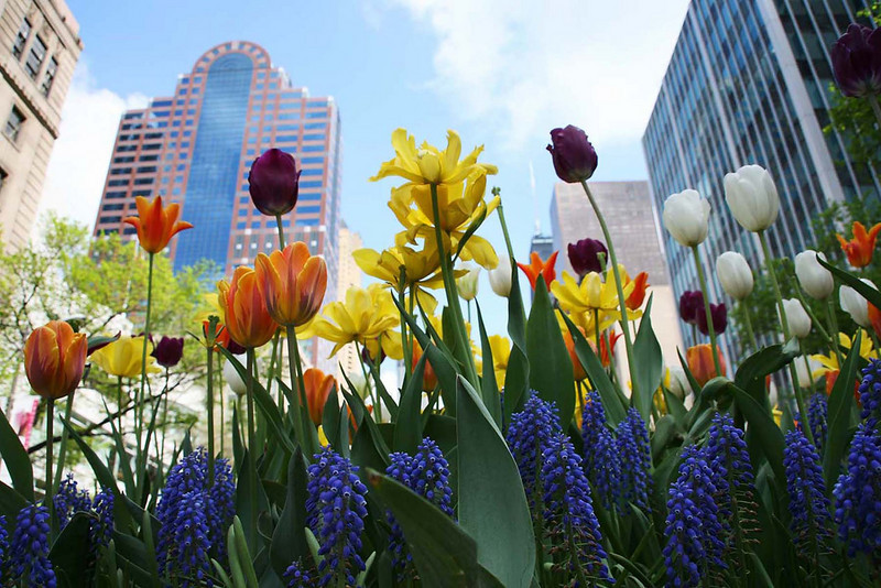 Michigan Avenue Tulips 2