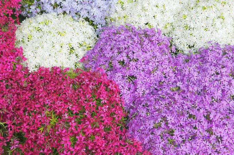 Flowers_Phlox-MultiColor_0461.jpg