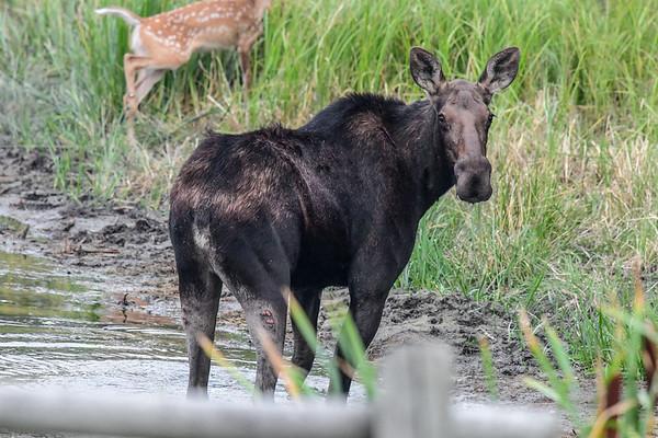 8-30-17 *Moose