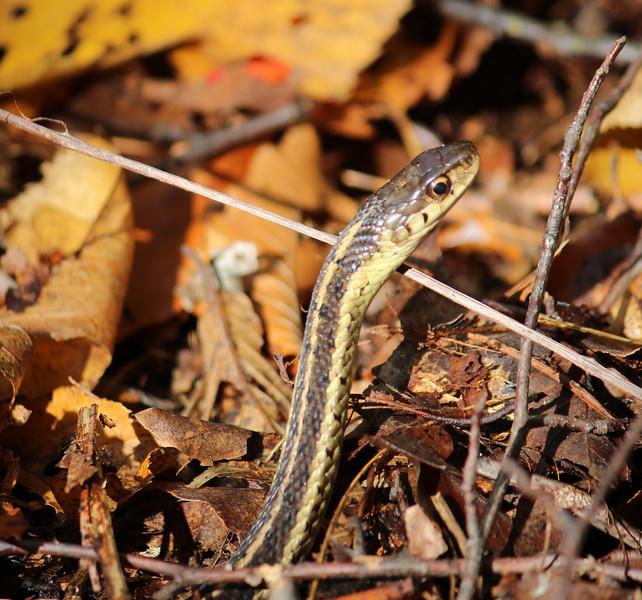garter snake woods.jpg