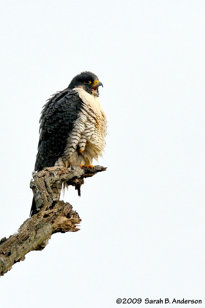 Peregrin Falcon yawn C&O Canal National Historic Park Montgomery County, Maryland January 2009