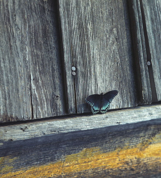 Butterfly On Barn