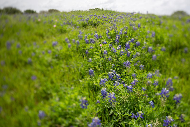 2019 Campus Bluebonnets_1676.jpg