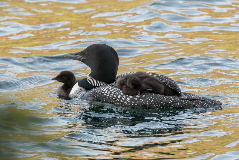 #625 Common Loon and her Chicks