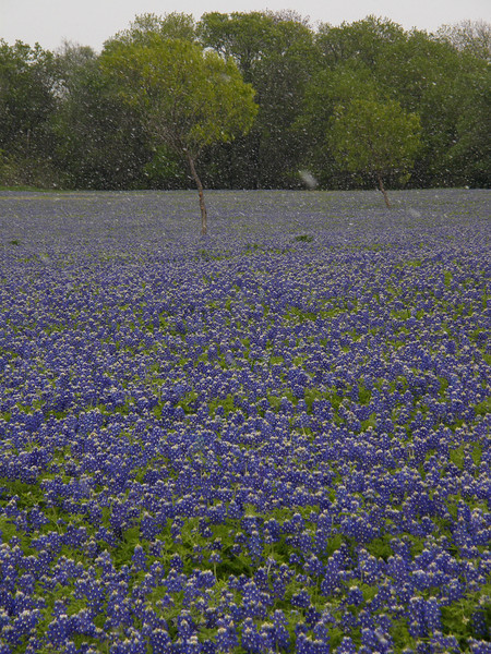 Texas Bluebonnets, 2007