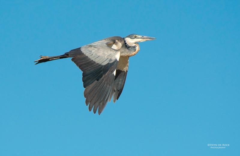 Black-necked Heron, Addo Elephant NP, EC, SA, Dec 2013-1.jpg
