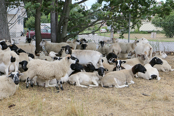 Sheep Killed in Leominster