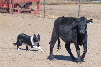 Herding Saturday10-29-16