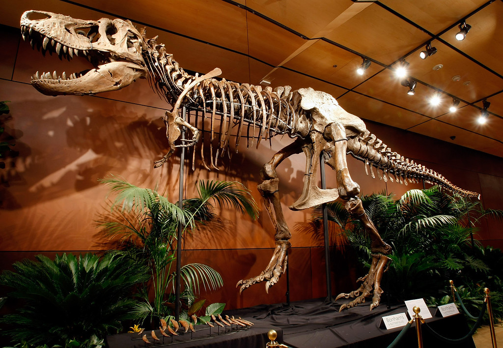 """. LAS VEGAS - SEPTEMBER 30:  A 66-million-year-old Tyrannosaurus rex skeleton dubbed \""""Samson\"""" is displayed at the Venetian Resort Hotel Casino September 30, 2009 in Las Vegas, Nevada. The 40-foot-long female dinosaur fossil, excavated in South Dakota in 1992, contains about 170 bones and is said to be the third most complete T. rex skeleton ever unearthed. The skull currently mounted on the display is a cast replica of the 450-pound original. Thomas Lindgren, co-consulting department director of Natural History at auctioneers Bonhams & Butterfields, said the original is being displayed separately for safety reasons and as it is one of the most intact in existence makes it completely available for scientific research. Bonhams & Butterfields is hoping Samson will fetch more than USD 6 million when it is auctioned off as the centerpiece of a lot of 50 fossils on October 3 at the Venetian as part of their Natural History auction.  (Photo by Ethan Miller/Getty Images)"""