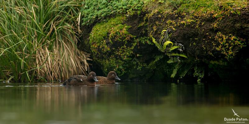 AucklandIslandTeal-AuckandIsland(Enderby)-61213-5.jpg