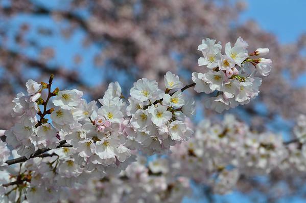 Cherry Blossoms, DC