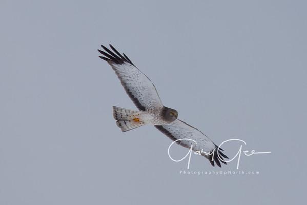 Hawks & Kestrels
