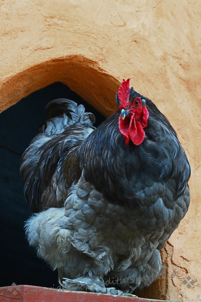 My Big Fat Gray Rooster.jpg