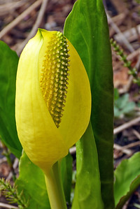 Skunk Cabbage - Vertical April 2012, Cynthia Meyer, Tenakee Springs, Alaska