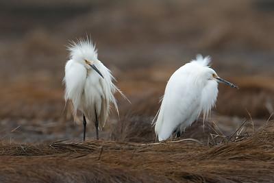 Snowy Egrets 2019