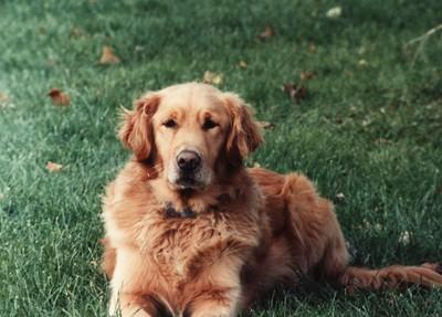 Brandon, golden retriever, circa mid-80s