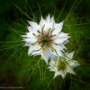 Love-In-A-Mist