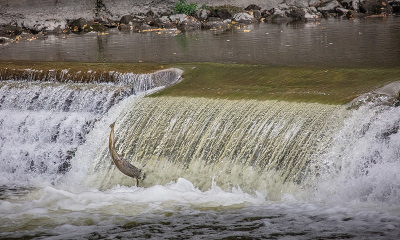 salmon upstream (9 of 48).jpg