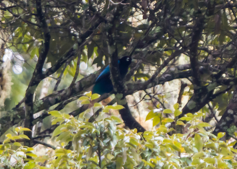 Blue Bird-of-Paradise male at Tonga Trail, Enga Province, Papua New Guinea (10-02-2013) 1454.jpg