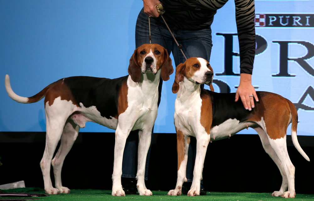 Description of . Xcetera (L) and Meg, Treeing Walker Coonhounds are introduced during a press conference ahead of the 137th Westminster Kennel Club Dog Show in New York, February 7, 2013. Treeing Walker Coonhounds will join Russell Terriers as the two new breeds in the 137th Westminster Kennel Club Dog Show which will feature some 2,721 dogs and will be held in New York City February 11 and 12, 2013.   REUTERS/Mike Segar