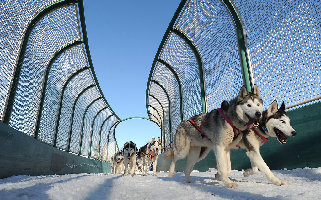 . Siberian huskies Fritz, left, and Ruby lead the rookie team of Lisbet Norris of Willow, Alaska, across a bridge over Tudor Road during the ceremonial start for the 2014 Iditarod Trail Sled Dog Race on Saturday, March 1, 2014, in Anchorage, Alaska. (AP Photo/The Anchorage Daily News, Bill Roth)