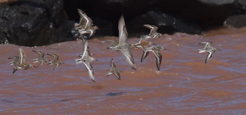 Shorebirds mixed flock Wisconsin Point Superior WI IMG_1341.jpg