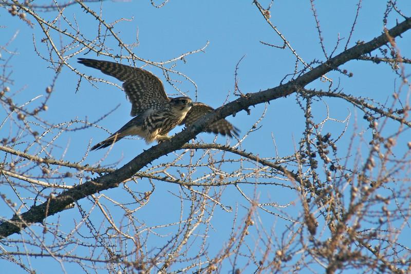 Merlin hunting Park Point [August; Duluth, Minnesota]