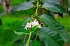 Flowering coffee
