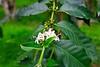Flowering coffee