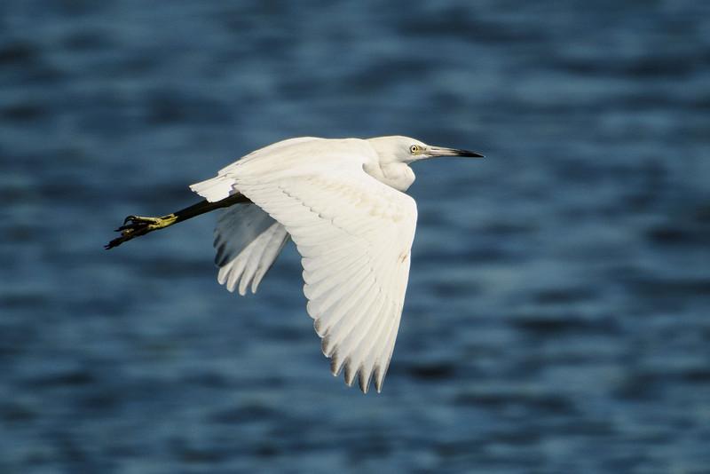Heron-Little Blue - juvenile - Betz-Tiger Creek Preserve State Park - Jacksonville, FL