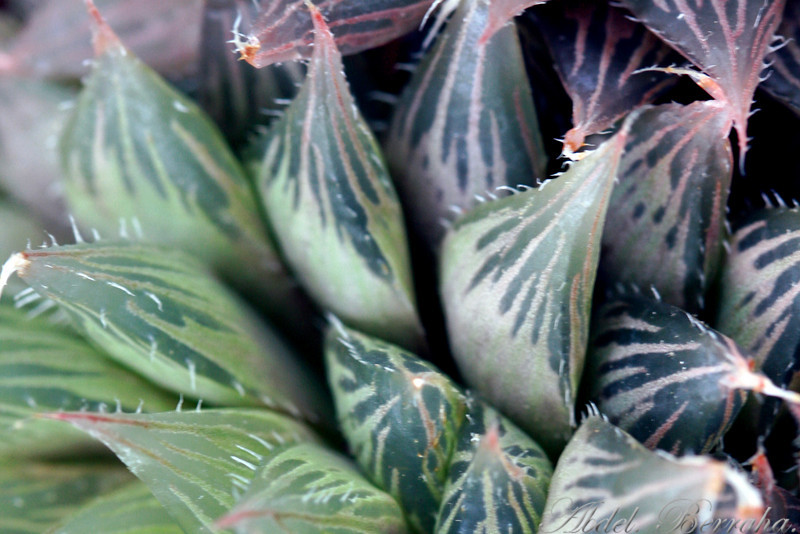HAWORTHIA CYMBIFORMIS VARIEGATA Family: Aloaceae