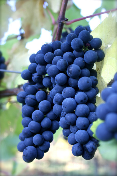 Willamette Valley Wine Harvest