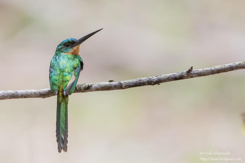 Rufous-tailed Jacamar - Blanchiseusse Rd, Trinidad