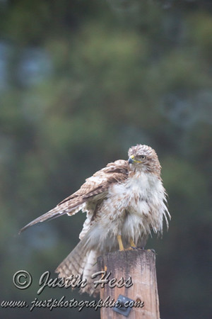 Red-tailed Hawk 06-07-2017