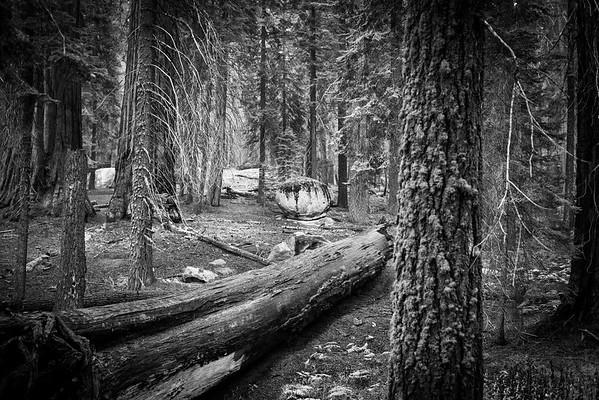 Sequoia-0385
