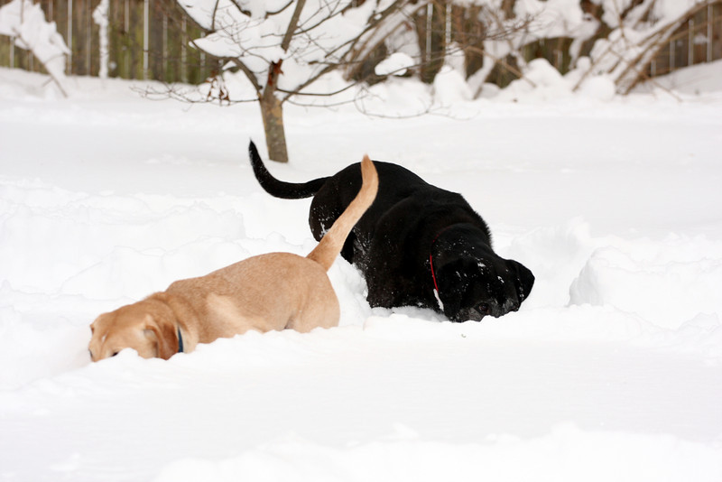 Dogs in snow.