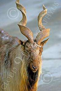 Markhor Wildlife Photography