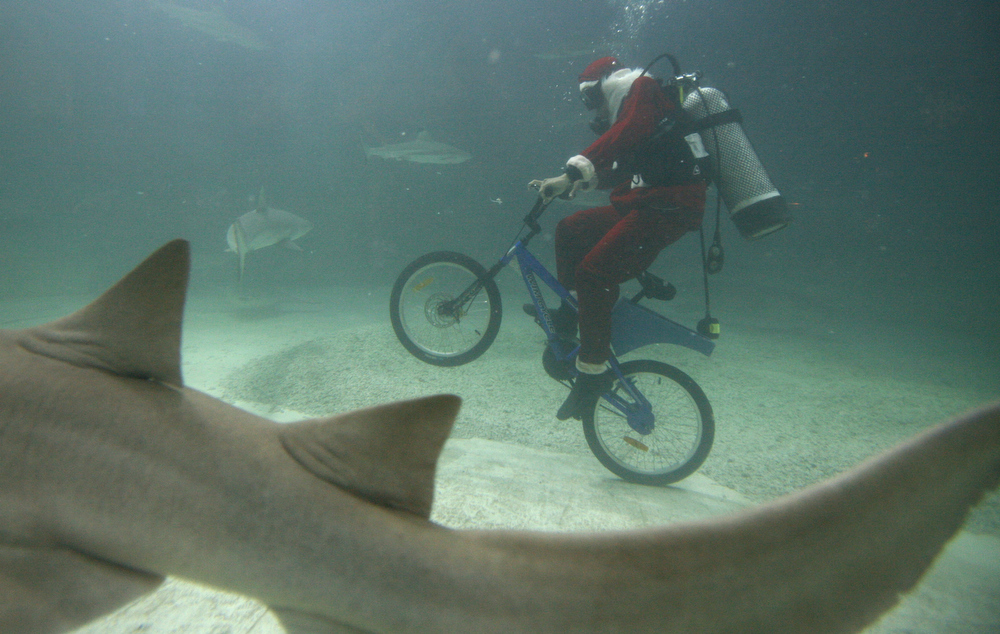 Description of . A diver in Santa Claus costume rides a bicycle inside a shark tank at the Sea World in Jakarta, Indonesia, Friday, Dec. 19,2008. (AP Photo/Achmad Ibrahim)