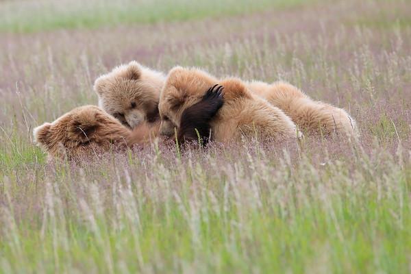 Got Milk? Brown Bears Nursing Alaska 2012 2017