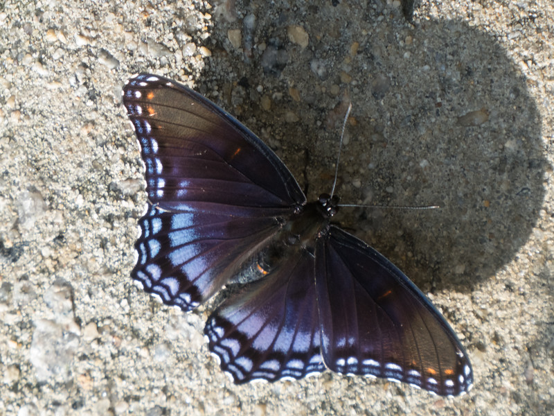 Rest Area entomology: Red-spotted Purple butterfly. North Carolina/Virginia line